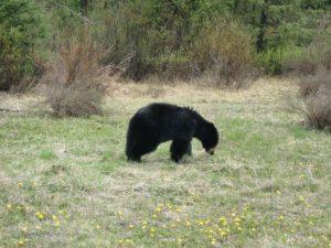 Grizzly Bär in freier Wildbahn